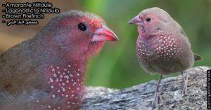 Amarante nitidule (Lagonosticta nitidula - Brown Firefinch) est une espèce des oiseaux de la famille des Estrildidés (Estrildidae), ses descriptions, ses photos et ses vidéos sont ici à xopark.com