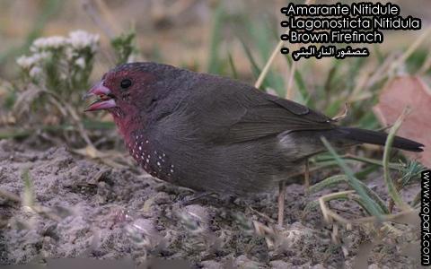 Amarante Nitidule – Lagonosticta Nitidula – Brown Firefinch – xopark1