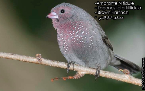 Amarante Nitidule – Lagonosticta Nitidula – Brown Firefinch – xopark2