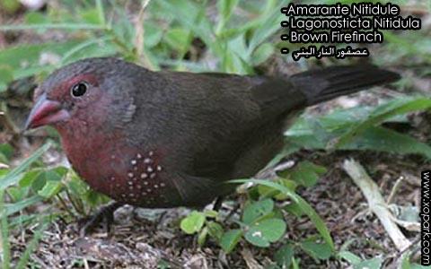 Amarante Nitidule – Lagonosticta Nitidula – Brown Firefinch – xopark3