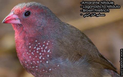 Amarante Nitidule – Lagonosticta Nitidula – Brown Firefinch – xopark4