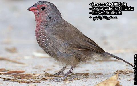 Amarante Nitidule – Lagonosticta Nitidula – Brown Firefinch – xopark5
