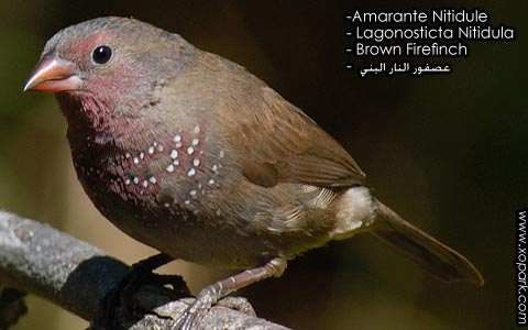 Amarante Nitidule – Lagonosticta Nitidula – Brown Firefinch – xopark7