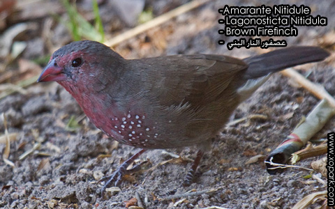 Amarante Nitidule – Lagonosticta Nitidula – Brown Firefinch – xopark8