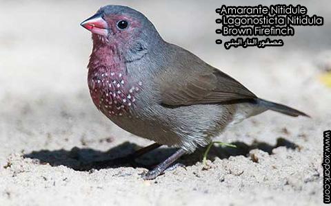 Amarante Nitidule – Lagonosticta Nitidula – Brown Firefinch – xopark9
