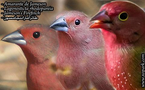 Amarante de Jameson – Lagonosticta rhodopareia – Jameson's Firefinch – xopark01