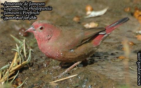 Amarante de Jameson – Lagonosticta rhodopareia – Jameson's Firefinch – xopark02