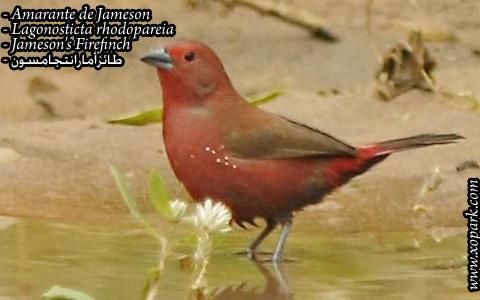 Amarante de Jameson – Lagonosticta rhodopareia – Jameson's Firefinch – xopark07