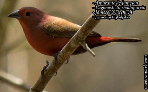 Amarante de Jameson – Lagonosticta rhodopareia – Jameson's Firefinch – xopark08