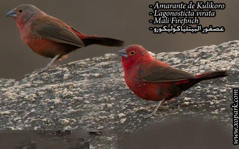 Amarante de Kulikoro – Lagonosticta virata – Mali Firefinch – xopark02