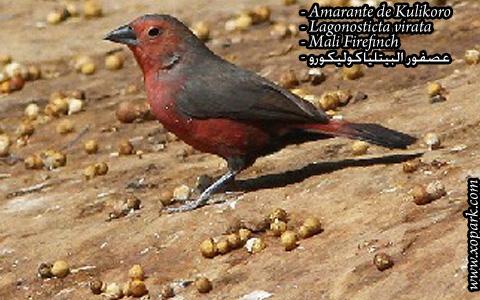 Amarante de Kulikoro – Lagonosticta virata – Mali Firefinch – xopark03
