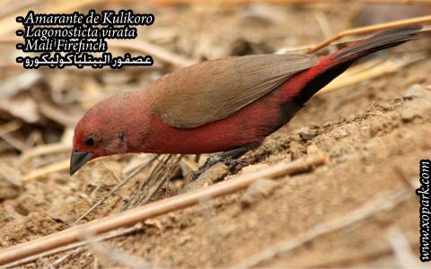 Amarante de Kulikoro – Lagonosticta virata – Mali Firefinch – xopark04