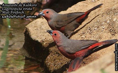 Amarante de Kulikoro – Lagonosticta virata – Mali Firefinch – xopark05