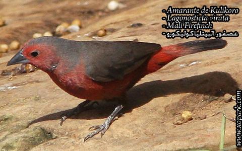 Amarante de Kulikoro – Lagonosticta virata – Mali Firefinch – xopark06