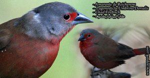 Amarante de Reichenow – Lagonosticta Umbrino Dorsalis - Chad Firefinch