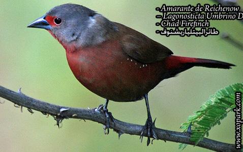 Amarante de Reichenow – Lagonosticta Umbrino Dorsalis – Chad Firefinch – xopark1