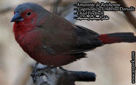 Amarante de Reichenow – Lagonosticta Umbrino Dorsalis – Chad Firefinch – xopark2
