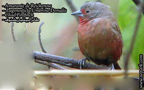 Amarante de Reichenow – Lagonosticta Umbrino Dorsalis – Chad Firefinch – xopark3