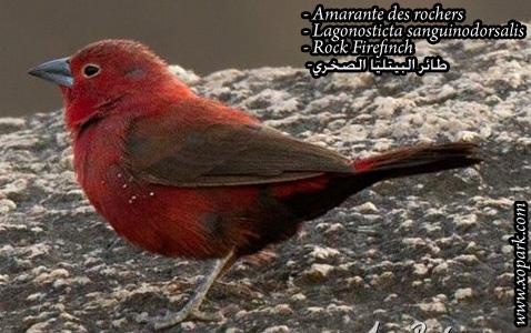 Amarante des rochers – Lagonosticta sanguinodorsalis – Rock Firefinch2