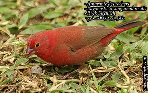 Amarante des rochers – Lagonosticta sanguinodorsalis – Rock Firefinch3
