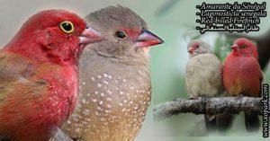 Amarante du Sénégal (Lagonosticta senegala - Red-billed Firefinch) est une espèce des oiseaux de la famille des Estrildidés (Estrildidae), ses descriptions, ses photos et ses vidéos sont ici à xopark.com