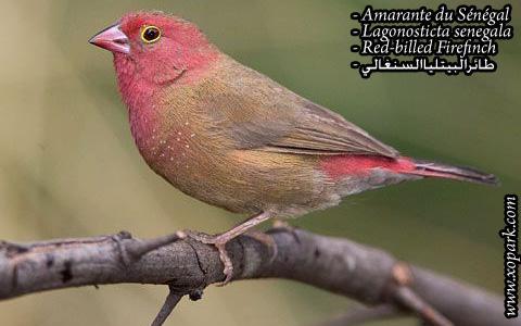 Amarante du Sénégal – Lagonosticta senegala – Red-billed Firefinch – xopark1