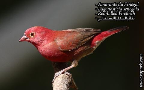 Amarante du Sénégal – Lagonosticta senegala – Red-billed Firefinch – xopark10