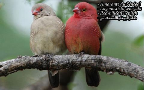 Amarante du Sénégal – Lagonosticta senegala – Red-billed Firefinch – xopark2