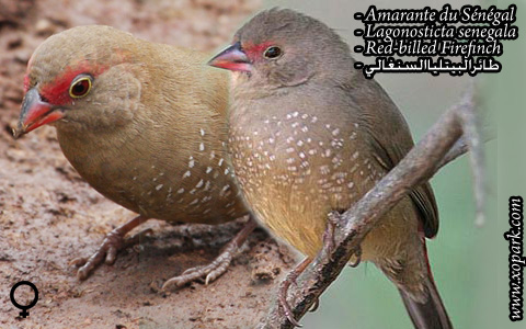 Amarante du Sénégal – Lagonosticta senegala – Red-billed Firefinch – xopark4