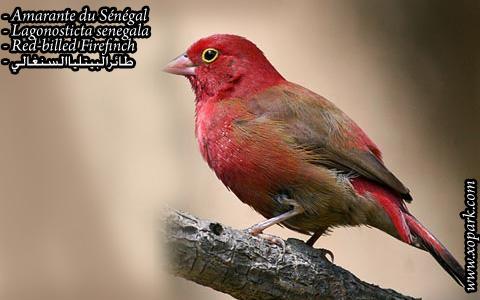 Amarante du Sénégal – Lagonosticta senegala – Red-billed Firefinch – xopark5