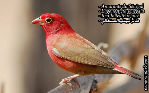 Amarante du Sénégal – Lagonosticta senegala – Red-billed Firefinch – xopark6