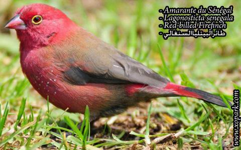 Amarante du Sénégal – Lagonosticta senegala – Red-billed Firefinch – xopark7