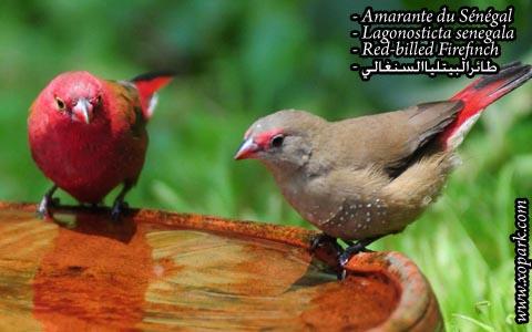 Amarante du Sénégal – Lagonosticta senegala – Red-billed Firefinch – xopark9