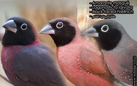 Amarante masqué – Lagonosticta larvata – Black-faced Firefinch – xopark1