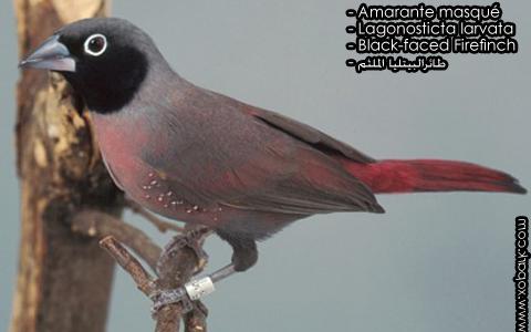 Amarante masqué – Lagonosticta larvata – Black-faced Firefinch – xopark2