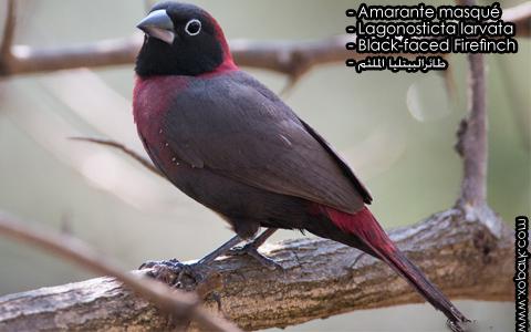 Amarante masqué – Lagonosticta larvata – Black-faced Firefinch – xopark3
