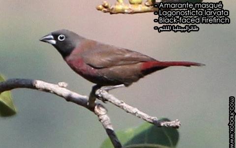 Amarante masqué – Lagonosticta larvata – Black-faced Firefinch – xopark4
