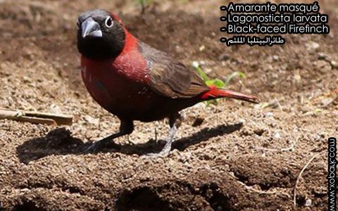 Amarante masqué – Lagonosticta larvata – Black-faced Firefinch – xopark5