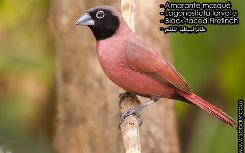 Amarante masqué – Lagonosticta larvata – Black-faced Firefinch – xopark6