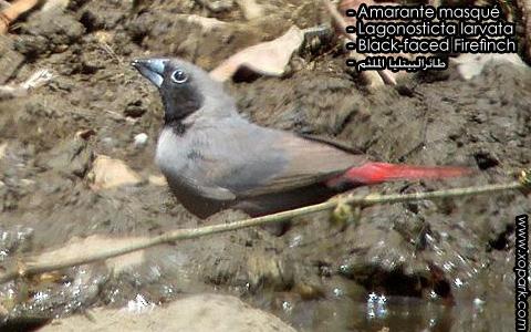 Amarante masqué – Lagonosticta larvata – Black-faced Firefinch – xopark7