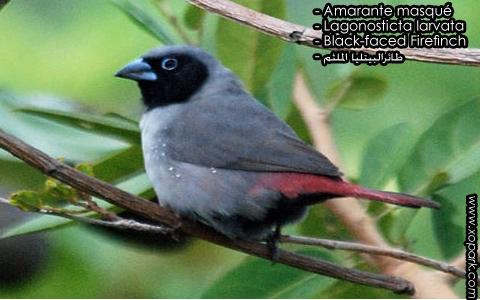 Amarante masqué – Lagonosticta larvata – Black-faced Firefinch – xopark8