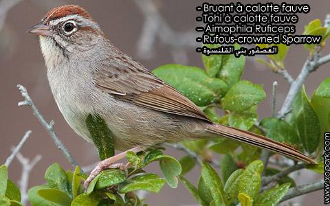 Bruant à calotte fauve – Tohi à calotte fauve – Aimophila Ruficeps – Rufous-crowned Sparrow – xopark1