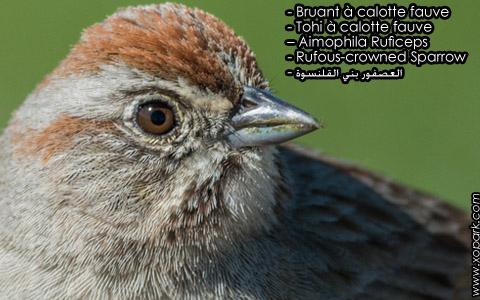 Bruant à calotte fauve – Tohi à calotte fauve – Aimophila Ruficeps – Rufous-crowned Sparrow – xopark10