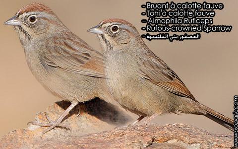 Bruant à calotte fauve – Tohi à calotte fauve – Aimophila Ruficeps – Rufous-crowned Sparrow – xopark2