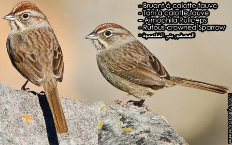 Bruant à calotte fauve – Tohi à calotte fauve – Aimophila Ruficeps – Rufous-crowned Sparrow – xopark3