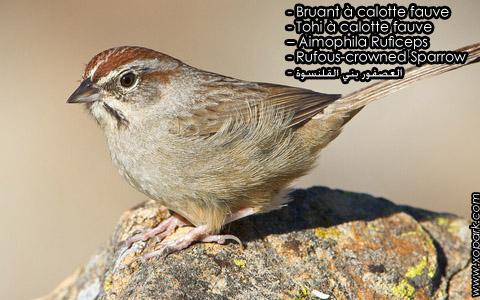 Bruant à calotte fauve – Tohi à calotte fauve – Aimophila Ruficeps – Rufous-crowned Sparrow – xopark4