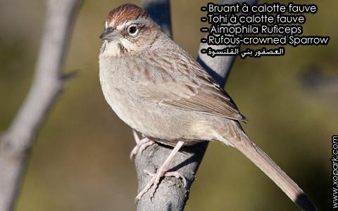 Bruant à calotte fauve – Tohi à calotte fauve – Aimophila Ruficeps – Rufous-crowned Sparrow – xopark5