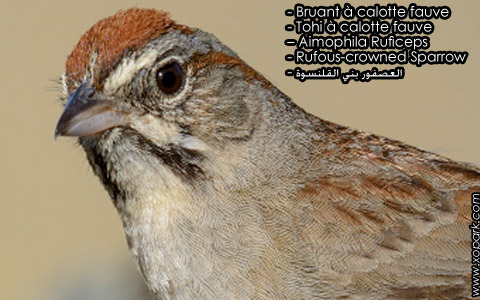 Bruant à calotte fauve – Tohi à calotte fauve – Aimophila Ruficeps – Rufous-crowned Sparrow – xopark6