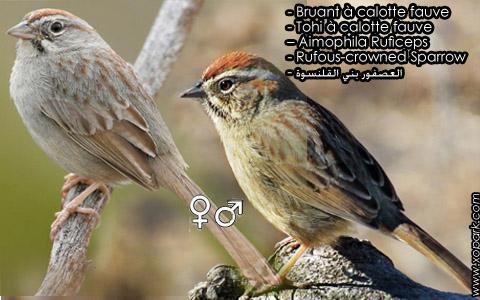 Bruant à calotte fauve – Tohi à calotte fauve – Aimophila Ruficeps – Rufous-crowned Sparrow – xopark7