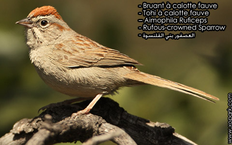 Bruant à calotte fauve – Tohi à calotte fauve – Aimophila Ruficeps – Rufous-crowned Sparrow – xopark8